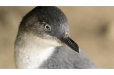 Penguin Parade Photo Gallery